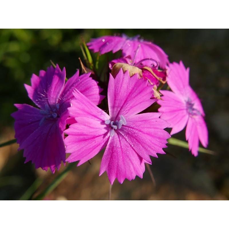 Dianthus carthusianorum, Stauden vom Yuccashop -