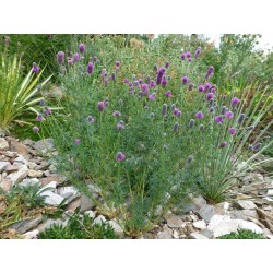 Dalea purpurea, Stauden vom Yuccashop -