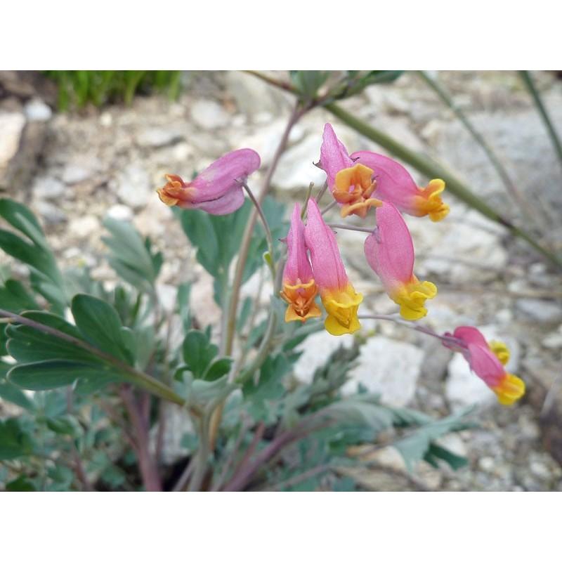 Corydalis sempervirens, Stauden vom Yuccashop -