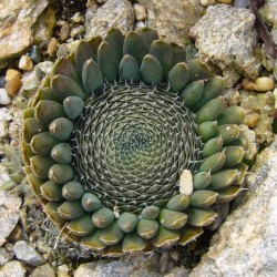 Orostachys spinosa ''GROSS'', Sukkulenten vom Yuccashop -