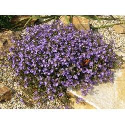 Chaenorhinum origanifolium 'Blue Dreams', Stauden vom Yuccashop -