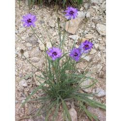 Catanache caerula, Stauden vom Yuccashop -
