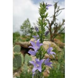 Campanula versicolor x C. pyramidalis, Stauden vom Yuccashop -