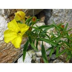 Calylophus serrulatus, Stauden vom Yuccashop -