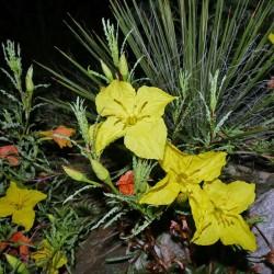 Calylophus hartwegii ssp. fendleri, Stauden vom Yuccashop -