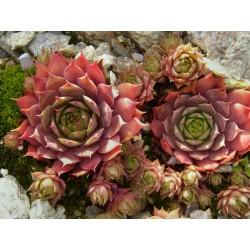 Sempervivum Hybriden ''Orangerot'', Sukkulenten vom Yuccashop -