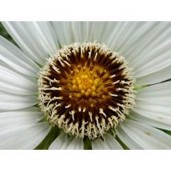 Berkheya cirsiifolia, Stauden vom Yuccashop -