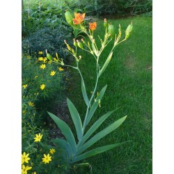 Belamcanda chinensis, Stauden, Iris, Yuccashop -