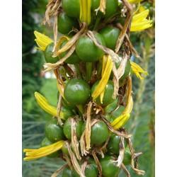 Asphodeline lutea, Stauden vom Yuccashop -