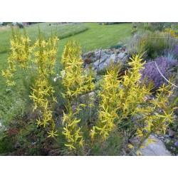 Asphodeline liburnica, Stauden vom Yuccashop -