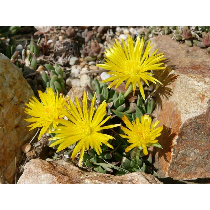 Bergeranthus jamesii, div. Aizoaceae, Yuccashop -