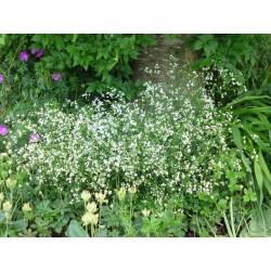Asperula tinctoria, Stauden vom Yuccashop -
