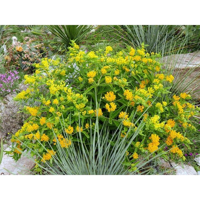 Asclepias tuberosa ''Gelb'', Stauden vom Yuccashop -