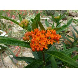 Asclepias tuberosa ''Orange'', Stauden vom Yuccashop -