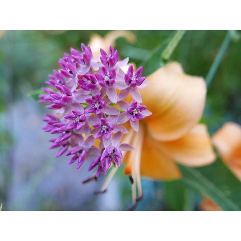 Asclepias purpurascens, Stauden vom Yuccashop -