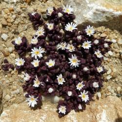 Delosperma seanii-hoganii, Mittagsblumen im Yuccashop kaufen -