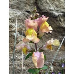 Antirrhinum hispanicum x majus F2, Stauden vom Yuccashop -