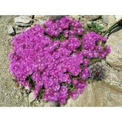 Delosperma obtusum 'John Proffitt', Mittagsblume vom Yuccashop -