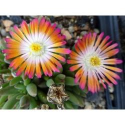 Delosperma 'Multicolor', Zwergige Mittagsblume vom Yuccashop -