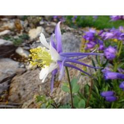 Aquilegia scopulorum, Stauden vom Yuccashop -