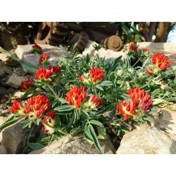 Anthyllis vulneraria var. coccinea, Stauden vom Yuccashop -