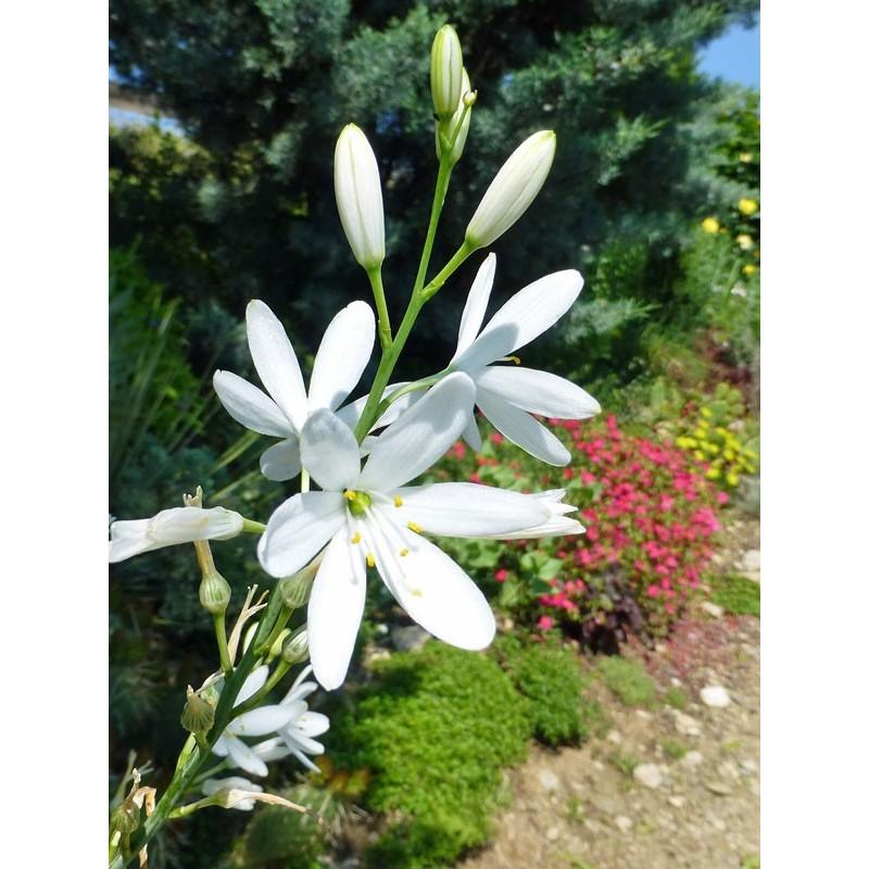 Anthericum liliago, Stauden vom Yuccashop -