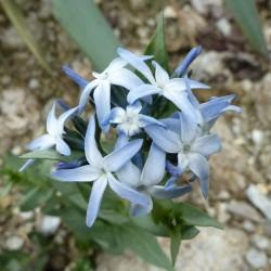 Amsonia jonesii, Stauden vom Yuccashop -