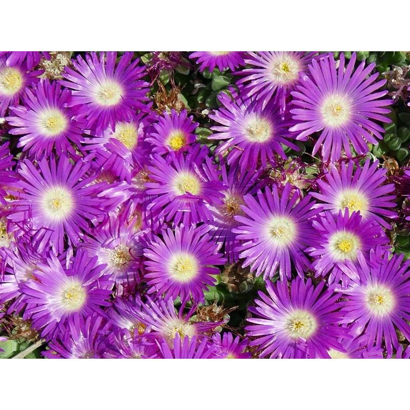 Delosperma 'Lesotho Pink', nelii, Mittagsblumen vom Yuccashop -