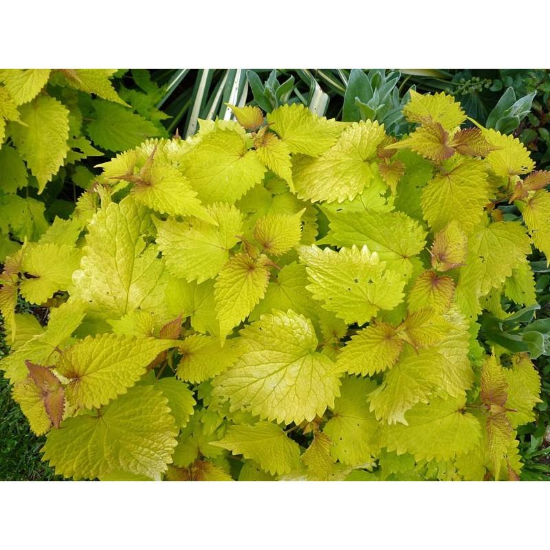 Agastache foeniculum 'Golden Jubilee', Stauden vom Yuccashop -