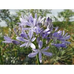Agapanthus Hybride ''Hohe Hellblaue'', Stauden vom Yuccashop -