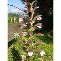 Acanthus hungaricus, Stauden vom Yuccashop -