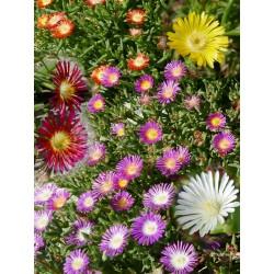 Delosperma-Set ''Wunderbar Bunt'', Mittagsblumen vom Yuccashop - Symbolbild