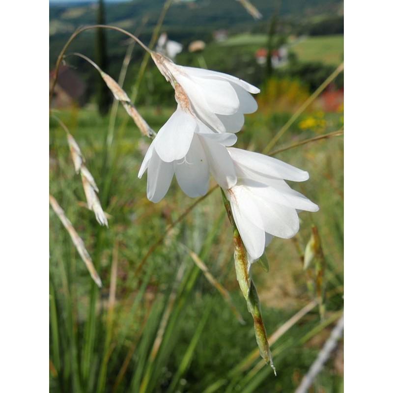 Dierama pulcherrimum 'Album', Feenglöckchen im Yuccashop -