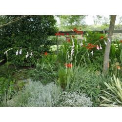 Dierama pulcherrimum, Feenglöckchen, Stauden, Yuccashop -