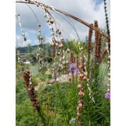 Dierama 'Slieve Donard Hybrids', Feenglöckchen, Yuccashop -