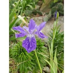 Iris tectorum, Schwertlilien im Yuccashop kaufen -