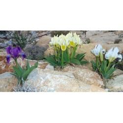 Iris pumila, Schwertlilien im Yuccashop kaufen -