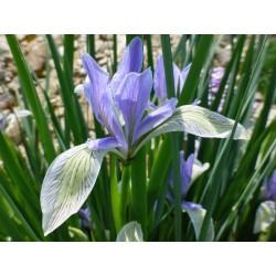 Iris lactea, Schwertlilien im Yuccashop kaufen -