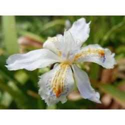 Iris japonica, Schwertlilien im Yuccashop kaufen -