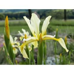 Iris halophila, Schwertlilien im Yuccashop kaufen -