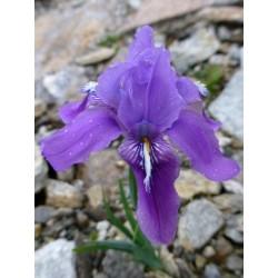 Iris decora, Schwertlilien im Yuccashop kaufen -