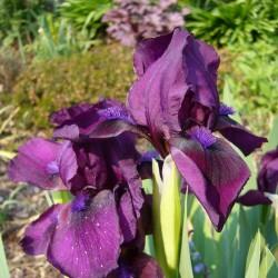 Iris barbata (Nana) dunkelviolett, Schwertlilien im Yuccashop kaufen -