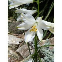 Paradisea liliastrum, Paradieslilieim Yuccashop kaufen -