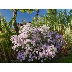 Aster ericoides, Symphyotrichum, Stauden im Yuccashop kaufen -