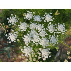 Athamanta turbith subsp. haynaldii, Stauden vom Yuccashop -