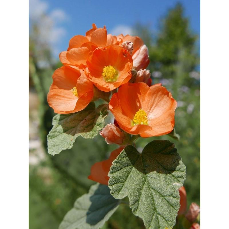 Sphaeralcea parvifolia, Kugelmalve, Stauden vom Yuccashop -