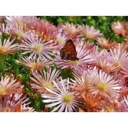 Delosperma-Set ''Matte Bodendecker'', Mittagsblumen, Yuccashop -