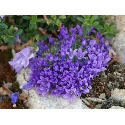 Edraianthus pumilio, Kleine Büschelglocke im Yuccashop kaufen -