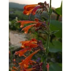 Agastache aurantiaca [Ex Durango], Staude, im Yuccashop kaufen -
