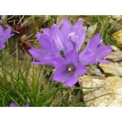 Edraianthus tenuifolius, Büschelglockeim Yuccashop kaufen -